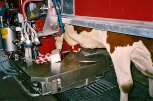 Første kua i melkeroboten. 9.januar 2006